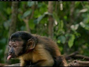 Escolha o nome do macaco que estrela superprodução na Amazônia - São cinco opções: Bacuri, Carimbó, Castanha, Lelesque e Safo.