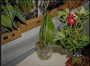 Orquídeas e rosas do deserto fazem parte de uma exposição de flores em Palmas - Orquídeas e rosas do deserto fazem parte de uma exposição de flores em Palmas