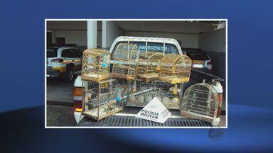 Homem é detido com 10 pássaros silvestres em Itajubá, MG - Homem é detido com 10 pássaros silvestres em Itajubá, MG