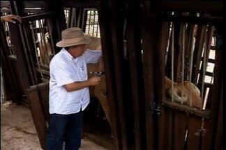 Começa a segunda fase da campanha de vacinação contra a febre aftosa - Em 2013, Ceará se tornou zona livre de aftosa.