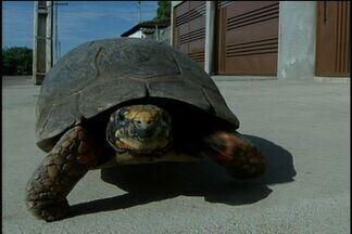 Bombeiros resgatam jabuti circulando por ruas de Porangatu, Goiás - Após resgate, animal foi solto pelos militares em um ambiente natural. Ambientalista diz que bicho corre risco de extinção e deve ter cerca de 45 anos.