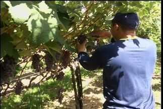 Agricultores de Missão Velha colhem bons resultados com o plantio de uvas - Trabalhadores conseguem superar a pouca ocorrência de chuva na região.