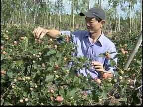 Colheita de frutas para as festas de fim de ano já começou - Mercado para produtores é garantido neste período.