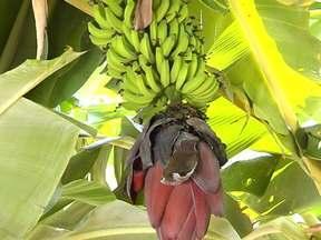 Agrônomo explica a hora certa de fazer o corte do coração do cacho de banana - Segundo o agrônomo Lino de Sá, da Emater, esse é um manejo muito simples de fazer.