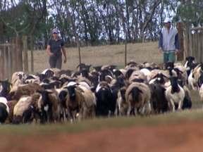 Criador nordestino transfere rebanho de ovinos para propriedade em SP - Os animais destinados ao corte são mestiços de santa inês e dorper. Os cordeiros prontos para o abate pesam em torno de 40 quilos.