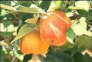 Maçã paulista - Produtores de Birigui, SP, apostam no cultivo da maçã. As variedades escolhidas são as mais resistentes ao calor