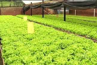 Produtor investe em sistema hidropônico para cultivar alface em Jataí - Nesse sistema, a hortaliça cresce sem a presença de terra, somente com a água e outros nutrientes como o nitrogênio.