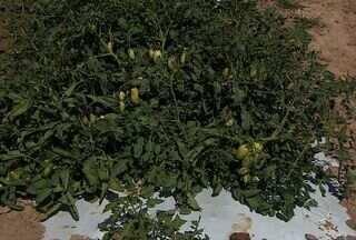 Técnica de cutivo de tomate garante redução dos custos e aumento da produção - Técnica de cutivo de tomate garante redução dos custos e aumento da produção. Assista ao vídeo e confira.
