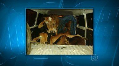 Kombi clonada é recuperada em Juiz de Fora com cinco bovinos - Dois suspeitos do crime foram detidos e um conseguiu fugir.