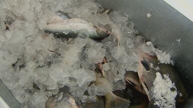 Batalhão ambiental apreende peixes que estão no período de defeso - MESMO SABENDO QUE PESCAR ALGUMAS ESPÉCIES NO PERÍODO DE DEFESO É CRIME E PODE ACARRETAR NUM GRANDE PREJUÍZO EM CASO DE APREENSÃO, AINDA TEM MUITO PESCADOR E COMERCIANTE DE ARRISCANDO.