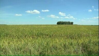 Agricultores gaúchos estão preocupados com fungo nas lavouras de arroz - Os fungos estão trazendo grandes prejuízos aos produtores de arroz. Na fronteira oeste do Rio Grande do Sul, cerca de 30% da plantação foi afetada.
