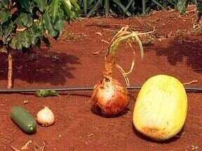 Assista ao segundo bloco do programa do dia 26 de janeiro de 2014 - Cebola, pepino e abóbora gigantes, confira as colheitas tamanho família de dois agricultores do estado
