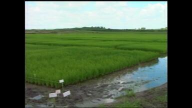 Chuva forte e alta temperatura possibilita foco de fungo no arroz - Assista ao vídeo.