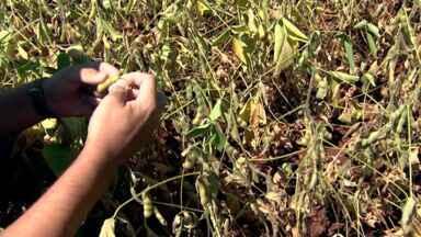 Produtores vão ter prejuízo na safra de soja pelo comportamento atípico do tempo - O mês de janeiro foi mais quente e seco que o habitual. Na região de Londrina, os agricultores já começam a contabilizar as perdas.