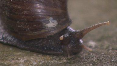 Caramujos africanos voltam a aparecer em Manaus - Secreção do molusco é prejudicial à saúde.