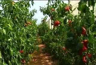 Quente demais - Altas temperaturas causam estragos no campo. Em Pirajuí, os produtores de legumes estão colhendo menos e com qualidade inferior