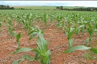 Mercado de milho está deixando produtor mais animado em Jataí - No município, agricultor dispensa oferta atuais ofertas de compradores do grão, apostando em um preço melhor na época da colheita.