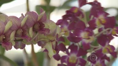 Exposição de Orquídeas de Pernambuco começa nesta sexta no Museu do Estado - A partir das 8h, é possível conferir as novidades. Não paga nada para visitar.