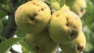 Produção da pera cai no Rio Grande do Sul - A safra da fruta está terminando e o resultado não foi bom. O granizo prejudicou os pomares. O preço também sofreu uma redução.