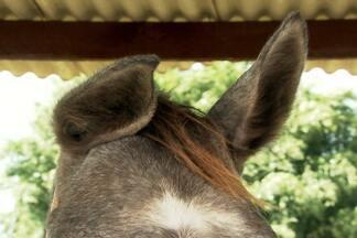 Veterinário explica se é possível levantar as orelhas caídas de um cavalo - Animal perde o valor de mercado com a orelha caída porque fica com a aparência feia..