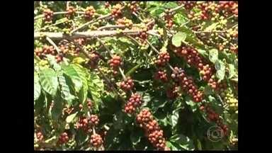 Agricultores do Sul da Bahia estão satisfeitos com a colheita do café Conilon - Depois de um longo período de seca, a chuva foi mais generosa nesta safra e ajudou a melhorar a produção do café Conilon na região Sul da Bahia.
