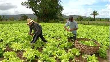 """Agricultores de Itabaiana (SE) comemoram produção de hortaliças em perímetro irrigado - Graças ao solo molhado no perímetro """"Porções da Ribeira"""" os produtores conseguem colher hortaliças até nove vezes por ano."""