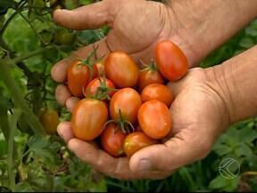 Produtores rurais de Carandaí apostam no cultivo do tomate cereja - Entre as vantagens do pequeno fruto está o menor uso de agrotóxicos e a facilidade da colheita.
