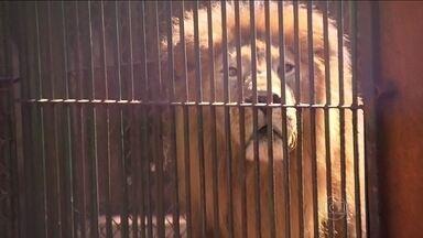 Leão sequestrado é encontrado no Paraná - O leão que havia desaparecido no interior de São Paulo foi encontrado no Paraná. Uma grande operação foi montada para encontrar o animal, que estava em um criadouro em Maringá. O ex-dono está envolvido no caso.