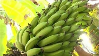 Calor e tempo seco afetam a produção de banana no sul de Minas Gerais - O calor e o tempo seco afetaram a produção de banana no sul de Minas Gerais. A situação só não está pior graças à reação do preço.