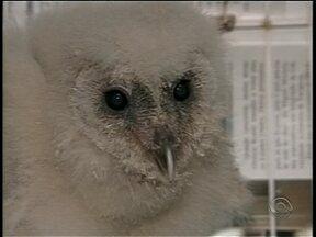 Filhote de coruja é resgatado de caixa d'água em Itajaí - Filhote de coruja é resgatado de caixa d'água em Itajaí