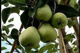Produtores da região cultivam frutas típicas de outros locais do país - Este ano vão ser realizadas colheitas de maçã e pera.