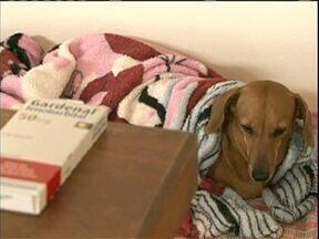 Surto de Cinomose preocupa donos de cães em Paranavaí - A doença é contagiosa e segundo os veterinários, já matou vários animais nas últimas semanas.