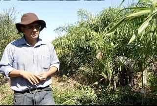Produtores norte-mineiros têm lucros com o cultivo do palmito - Produto ainda é pouco cultivado na região