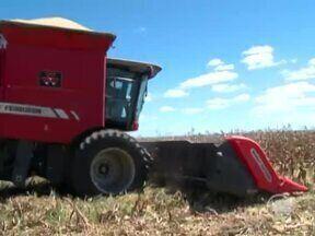 Colheita do milho tem ritmo acelerado no cerrado piauiense - Colheita do milho tem ritmo acelerado no cerrado piauiense