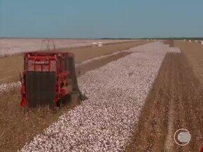 Área plantada de algodão cresce consideravelmente no Piauí - Área plantada de algodão cresce consideravelmente no Piauí