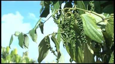 Cultivo de pimenta-do-reino ganha novo manejo em Porto Seguro - Os produtores estão plantando árvores que servem de suporte para a pimenteira.