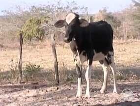 Criadores de gado em Floriano terão que vacinar as bezerras contra a brucelose - Criadores de gado em Floriano terão que vacinar as bezerras contra a brucelose