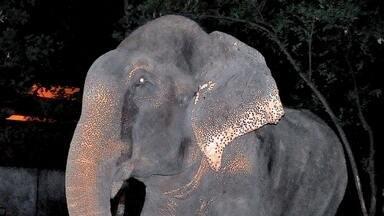 Detetive Virtual desvenda os mistérios do elefante que chora e da conquista da Copa - Um elefante foi libertado por uma ONG indiana, após passar 50 anos sofrendo maus tratos. Ao ser encontrado, foi tirada uma foto que mostraria o animal chorando. Será que isso é verdade?