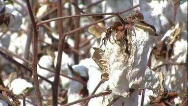 Chuva dificulta colheita da safra de algodão no MT - O trabalho está atrasado e a pluma começa a perder a qualidade. Os produtores estão preocupados, pois a pluma úmida não pode ser colhida.