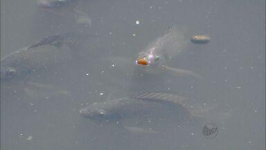 Peixes buscam oxigênio na superfície do Rio Piracicaba, SP - Imagem chamou a atenção de quem passava pela Rua do Porto, ponto turístico da cidade.