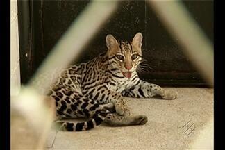 Jaguatirica resgatada em Vizeu chega a Parauapebas - Felino chegou no início da tarde desta sexta (1) ao Parque Zoobotânico de Carajás.