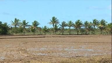 Falta de chuva preocupa produtores de arroz de Sergipe - Em Sergipe, os produtores de arroz irrigado estão preocupados com a falta de chuva. O nível do rio São Francisco está baixo, dificultando o trabalho das bombas que puxam água até as plantações.