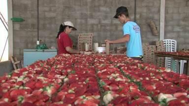 Assista ao 2º bloco do Caminhos do Campo do dia 17 de agosto de 2014 - A colheita tardia de morango no Noroeste e o melhor da Expoguá em Guarapuava