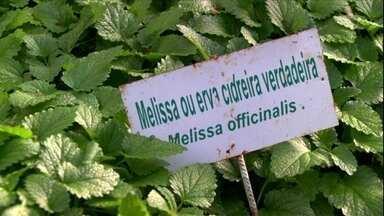 Especialista em ervas medicinais explica diferença entre melissa e erva cidreira - Telespectadora escreveu para o Globo Rural dizendo que estava pesquisando sobre um chá calmante e ficou confusa.