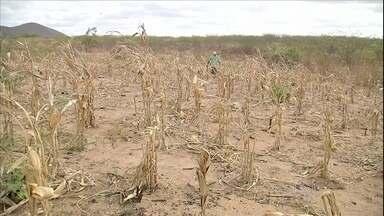 Tempo seco castiga os agricultores do Ceará - A forte estiagem faz agricultores do Canidé, no Ceará, perder quase toda a produção. Muitos agricultores estão até sem ter o que beber.