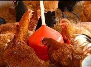 Produtor aposta na criação de galinha melhorada - Produtor aposta na criação de galinha melhorada.