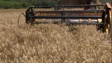 Safra de trigo vive boa produtividade no Paraná - Como a área plantada, em todo o Brasil, cresceu bastante, o excesso de oferta afetou os preços. Os agricultores estão com dificuldade para encontrar comprador.