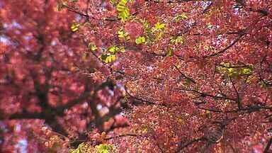 Árvore no Leste do estado produz vara medicinal - Árvore no Leste do estado produz vara medicinal.