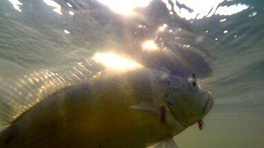 O forte de Rubineia é a pesca - Os turistas vão até Rubineia em busca do tucunaré, peixe que é conhecido como lutador. Na pesca esportiva todos tem a noção que o peixe tem que ficar dentro d'agua, pois esse é o maior atrativo da cidade.