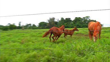 Morte de cavalos em Tangará da Serra (MT) preocupa criadores - Uso de variedade de capim estaria entre as causas, segundo produtores. MT Rural visitou propriedades para explicar o problema.